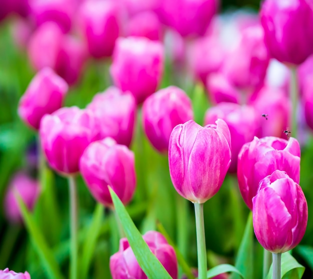 Close-up roze tulpenbloemen bloeien in lentetuin