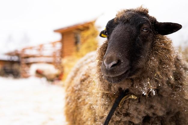 Close-up schapen, vee op een boerderij of boerderij in de winter tegenover een hooiberg. kopieer de ruimte