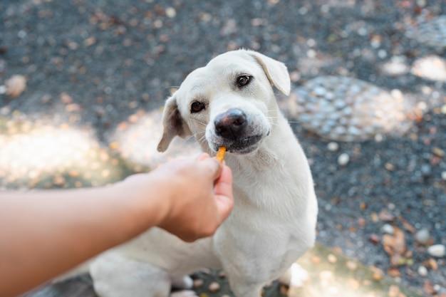 Close-up schattige witte hond die snack eet van menselijke hand in rotstuin, huisdiervoeding, vriendelijk dier, thaise hond