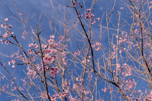 Close-up selectief gericht veel bloeiende roze wilde himalaya kersen op boomtakken op heldere heldere blauwe hemelachtergrond