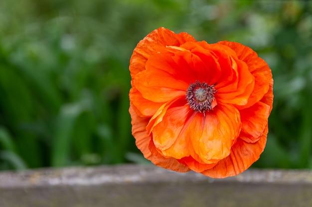 Close-up selectieve focus shot van een bloeiende oranje bloem in het groen