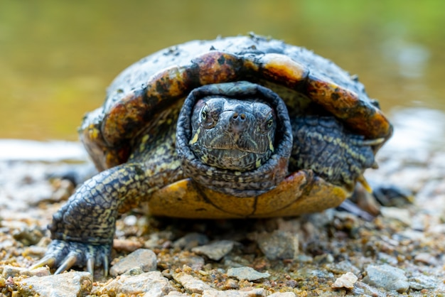 Close-up selectieve focus shot van een roodwangschildpad