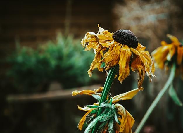 Close-up selectieve focus shot van verdorde zonnebloemen