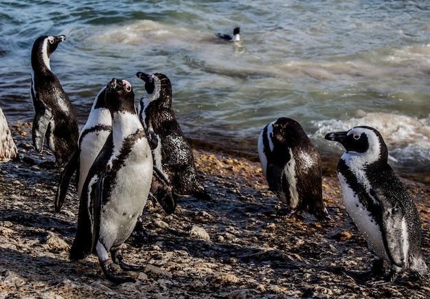 Close-up shot van afrikaanse pinguïns op de kust, omringd door de zee onder het zonlicht