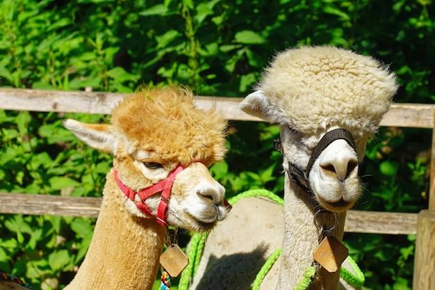 Close-up shot van alpaca's in een landbouwgrond