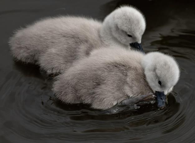 Close-up shot van babyzwanen die in een meer zwemmen