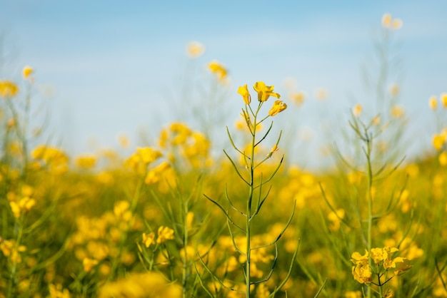 Close-up shot van bloeiend koolzaad op groot landbouwgebied agricultural