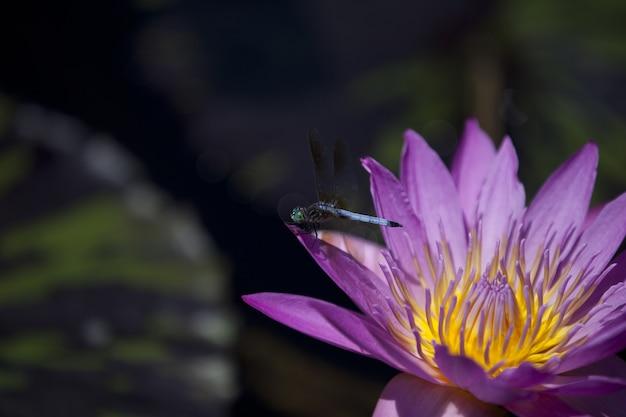 Close-up shot van blue dragonfly op purple lotus