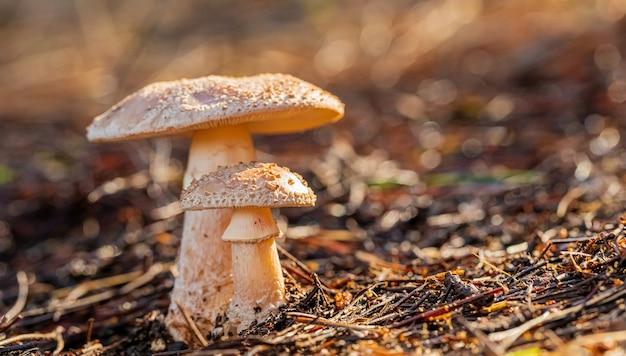 Close-up shot van bruine champignons in een voor