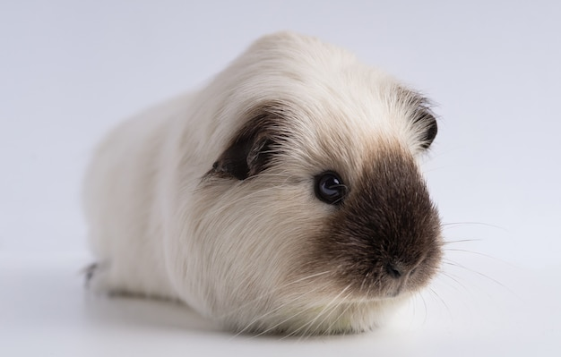 Close-up shot van cavia geïsoleerd