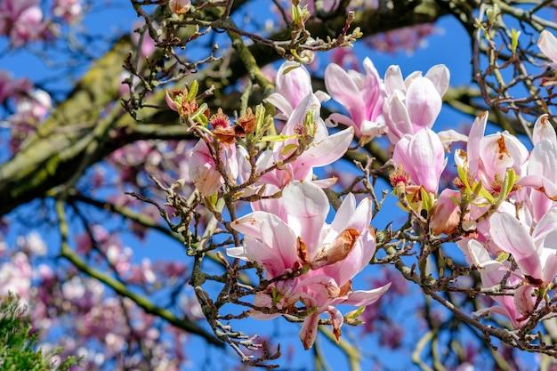 Close-up shot van de bomen van de kersenbloesem onder een heldere blauwe hemel