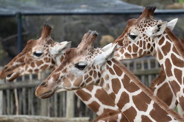 Close-up shot van de hoofden van drie giraffen naast elkaar