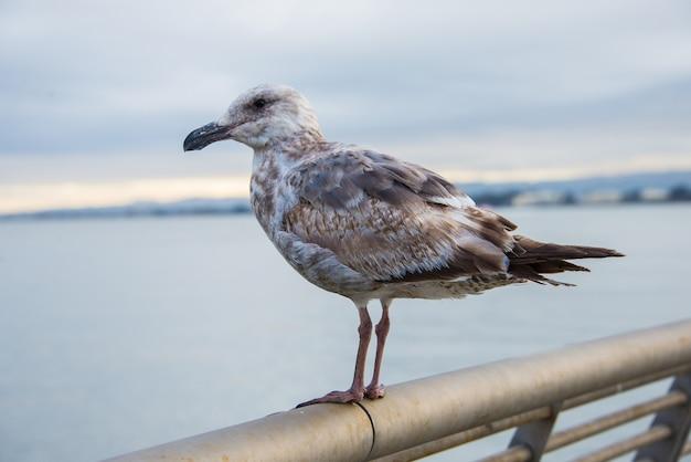 Close-up shot van de kleurrijke zeemeeuw die op het metalen hek zit