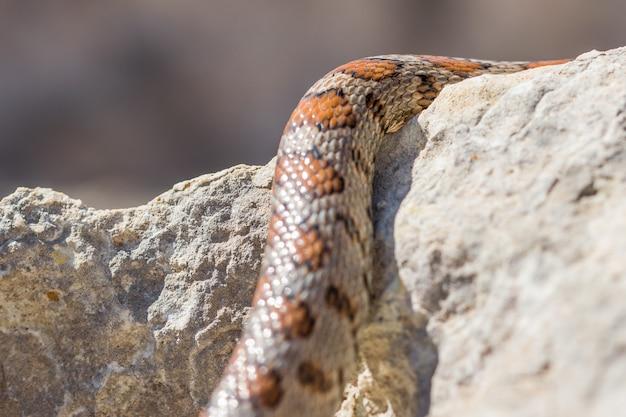 Close-up shot van de schubben van een volwassen luipaardslang
