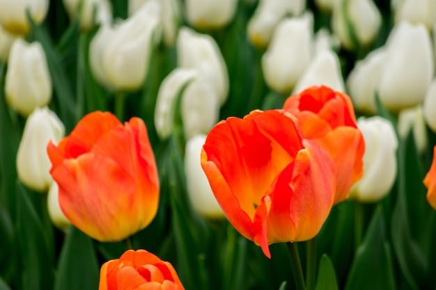 Close-up shot van de tulp bloemen in het veld op een zonnige dag - perfect voor achtergrond