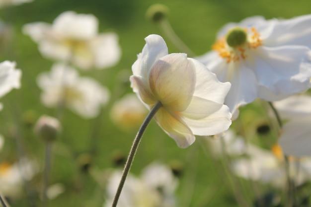 Close-up shot van de witte bloeiende bloem in de tuin op een zonnige dag