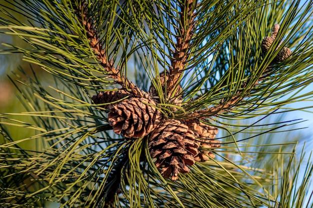 Close-up shot van dennenappels opknoping op de boom