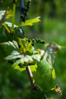 Close-up shot van druivenbladeren