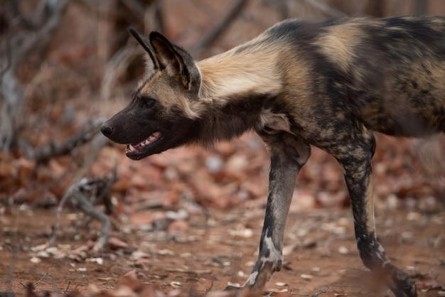 Close-up shot van een afrikaanse wilde hond klaar om op een prooi te jagen