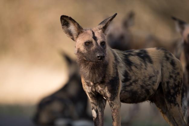 Close-up shot van een afrikaanse wilde hond met een onscherpe achtergrond