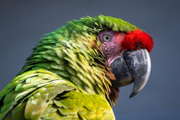 Close-up shot van een ara papegaai met kleurrijke veren op een grijze achtergrond