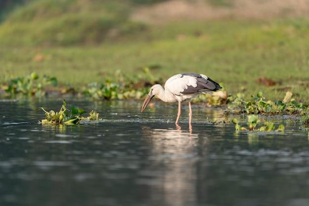 Close-up shot van een aziatische openbill in water