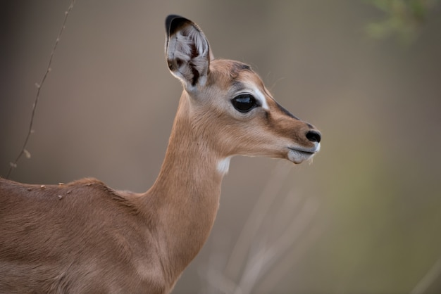 Close-up shot van een baby antilope