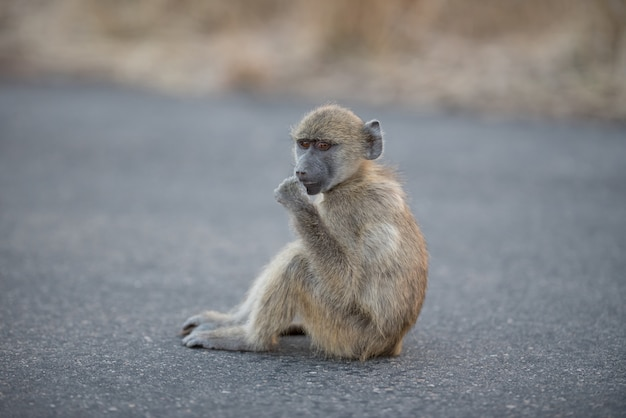 Close-up shot van een baby baviaan aap zittend op de weg