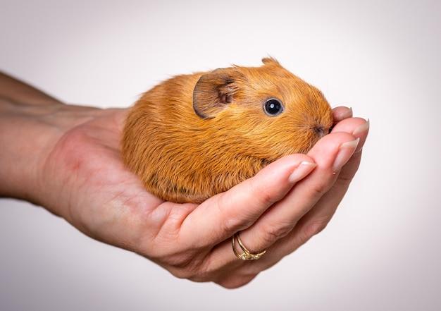 Close-up shot van een baby cavia in de palm van een persoon
