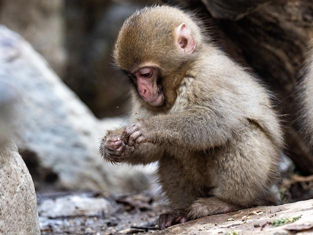 Close-up shot van een baby japanse makaak zittend op een grond