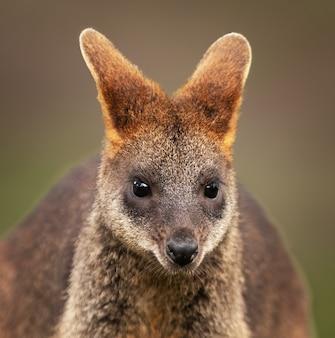 Close-up shot van een baby wallaby met een wazige ruimte