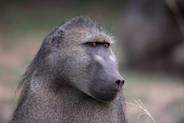 Close-up shot van een baviaan aap met een onscherpe achtergrond