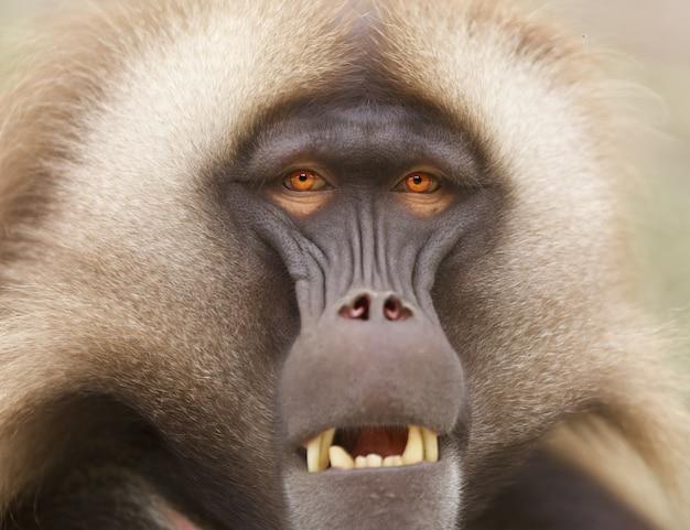 Close-up shot van een baviaan met fel oranje ogen buiten bij daglicht