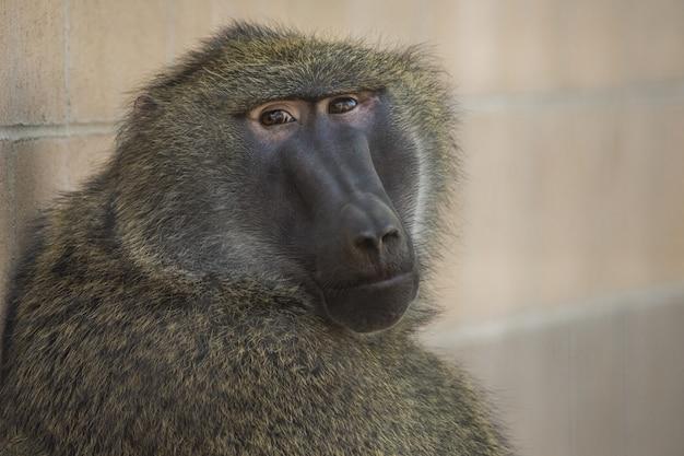 Close-up shot van een baviaan zittend tijdens het kijken naar de camera