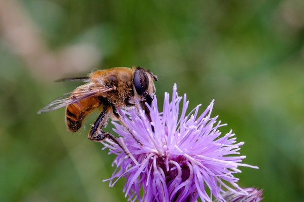 Close-up shot van een bij op een violette bloem