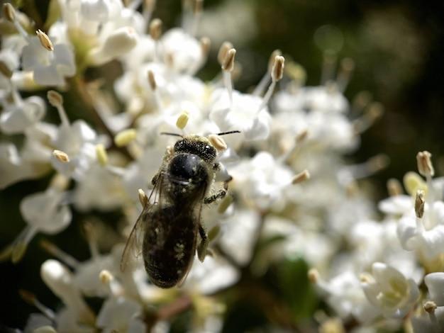 Close-up shot van een bij op witte bloemen die stuifmeel verzamelen