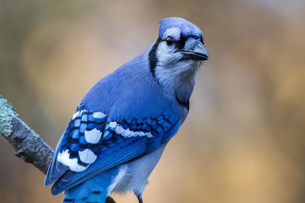 Close-up shot van een blauwe vlaamse gaai die op een tak zit