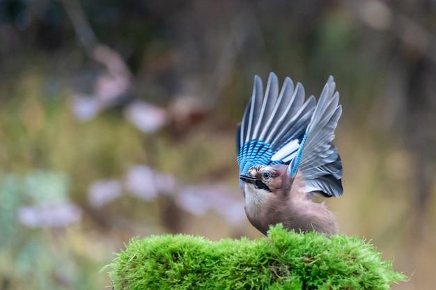 Close-up shot van een blauwe vlaamse gaai vogel klaar om te vliegen
