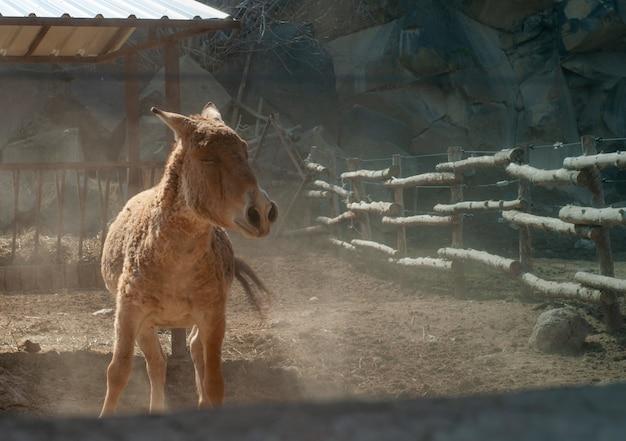 Close-up shot van een bruine ezel in een boerderij in de buurt van de houten hek