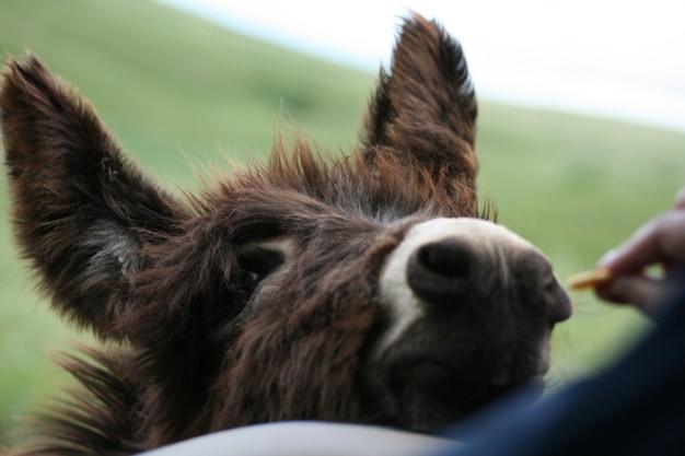 Close-up shot van een bruine ezel wordt gevoed door een persoon op een gras bedekt gebied