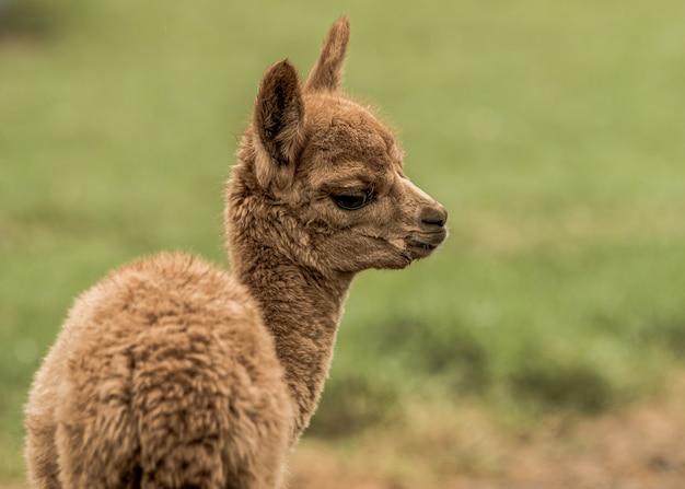 Close-up shot van een bruine lama in het veld