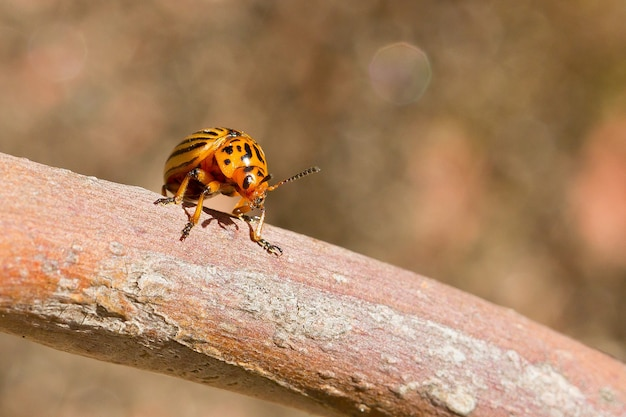 Close-up shot van een coloradokever op een boom oppervlak