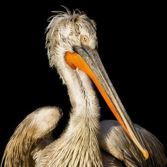 Close-up shot van een dalmatische pelikaan voor een zwarte