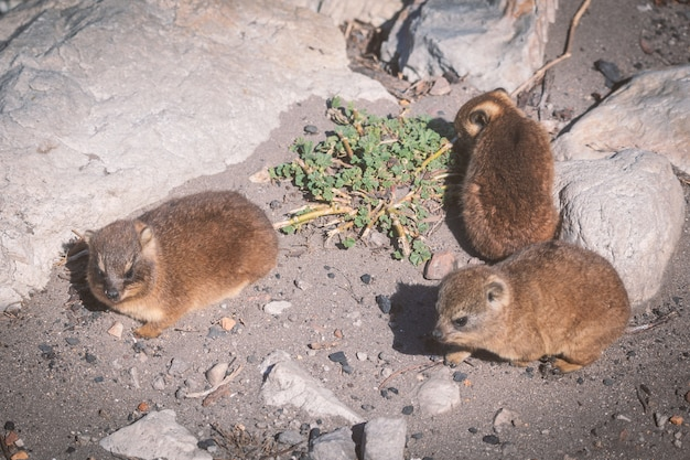 Close-up shot van een drie baby rock hyraxes of dassies in betty's bay, zuid-afrika