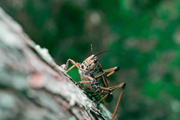 Close-up shot van een eastern lubber sprinkhaan op een boom