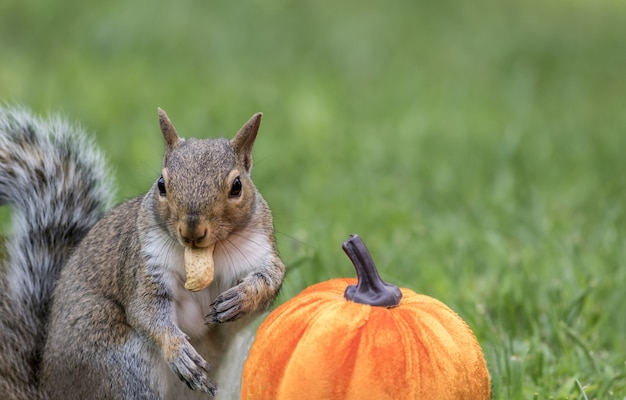 Close-up shot van een eekhoorn naast een pompoen die een pinda eet