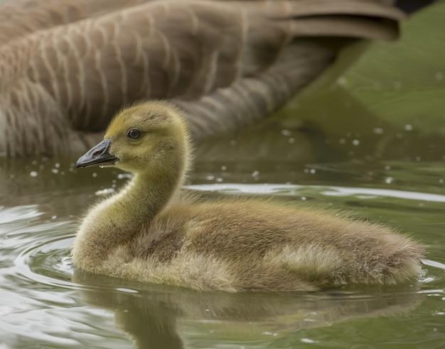 Close-up shot van een eendje op het water in de buurt van zijn moeder