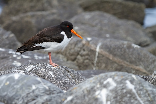 Close-up shot van een euraziatische oystercatcher-vogel die op een rots staat op het eiland runde in noorwegen