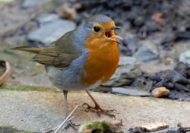 Close-up shot van een europese robin-vogel die op een rots neerstrijkt