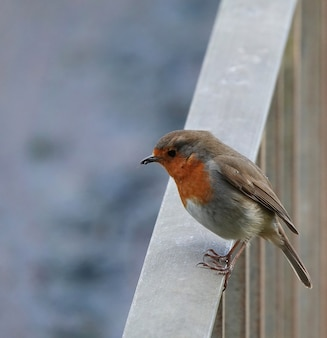 Close-up shot van een europese robin